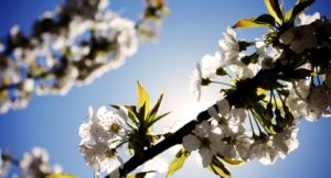 2014_07_life-of-pix-free-stock-photos-white-cherry-blossoms-Sarah-Geissberger-740x400
